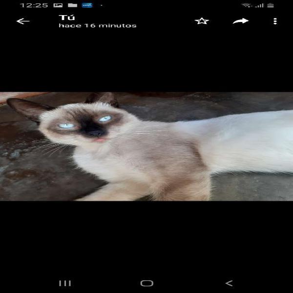 Gato siames thai bb. informes. en callao