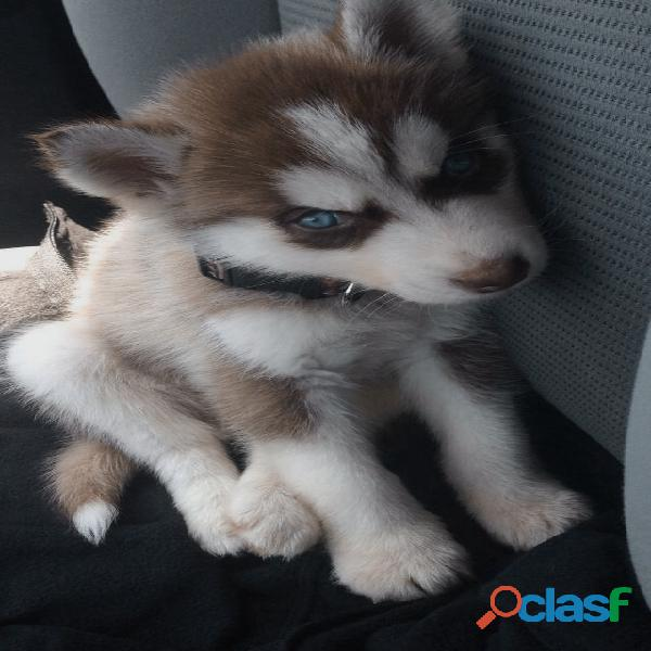 Busco cachorro siberian manto rojo y ojos azules