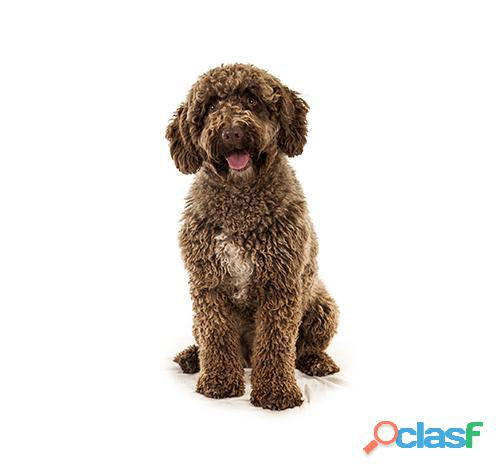 Busco cachorro de agua español me encuentro en lima peru