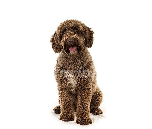 Busco cachorro de agua español *no adulto*
