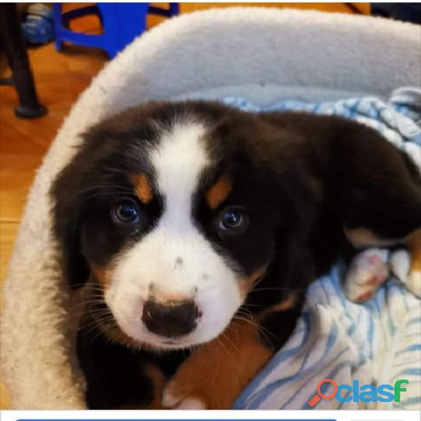 Cachorro boyero de Berna ,deseo comprar