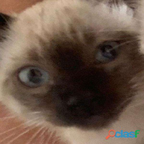 Busco adoptar o comprar un gato siamés