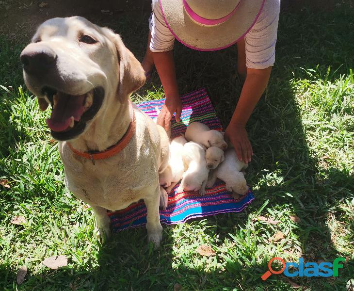 Cachorro Labrador Retriever 4