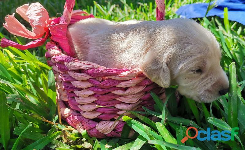 Cachorro Labrador Retriever 3