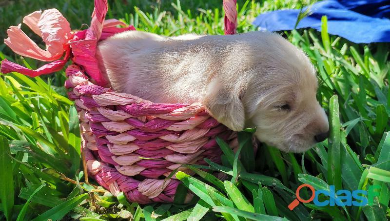 Cachorro Labrador Retriever 2