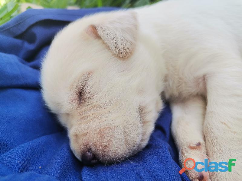 Cachorro Labrador Retriever 1