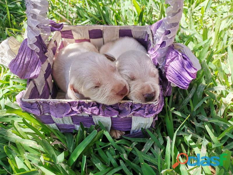Cachorro Labrador Retriever 6