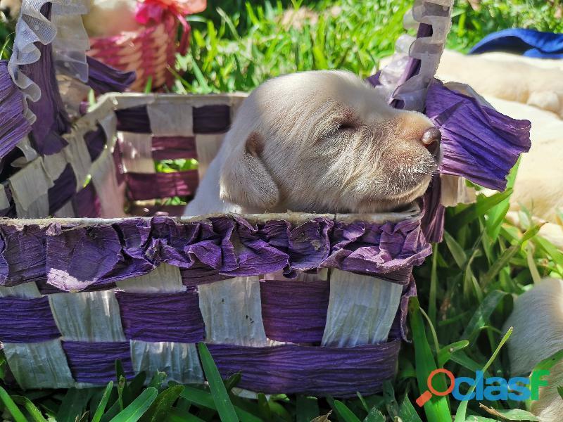 Cachorro Labrador Retriever 7