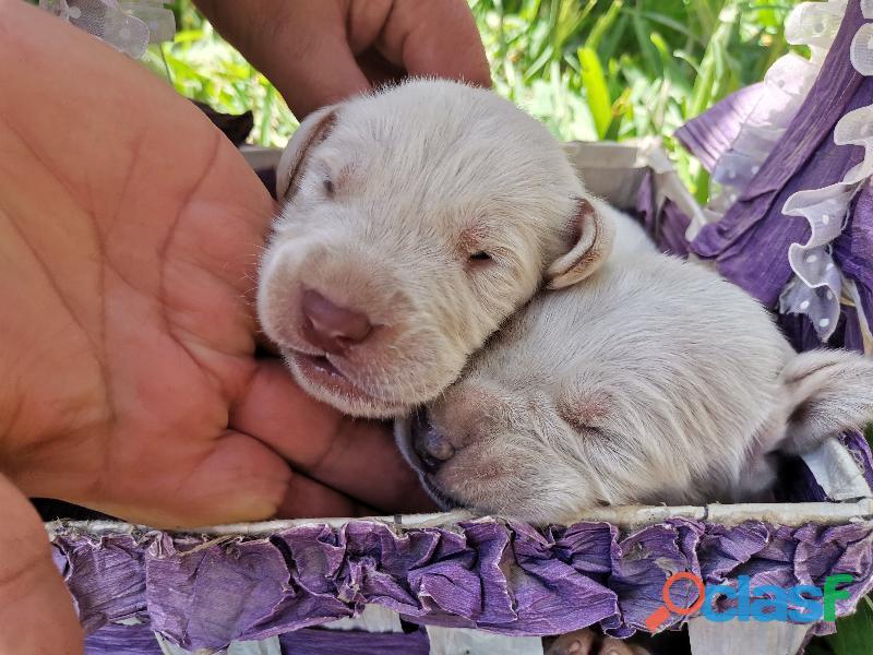 Cachorro Labrador Retriever 8