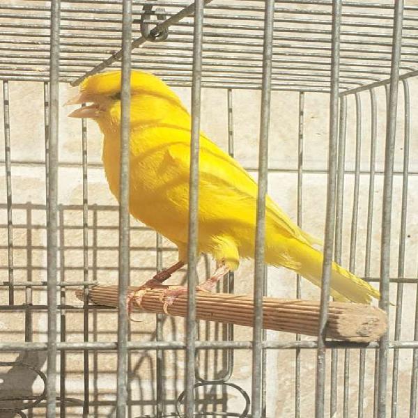 Canarios 975511643 en Lima