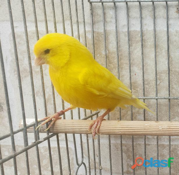 Canarios amarillos 975511643