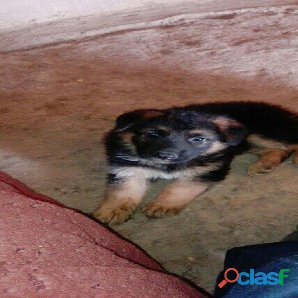 cachorra pastor aleman de 8 meses vendo.