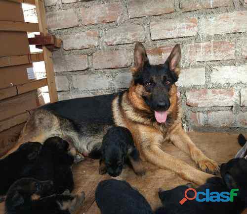 cachorra pastor aleman de 8 meses vendo. 1