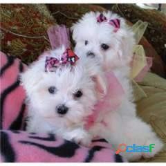 Micro lindo cachorros malteses para adopción 1
